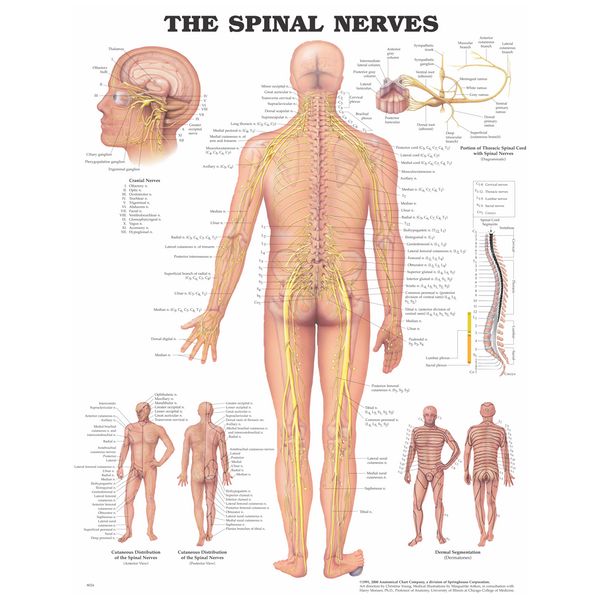 Human Anatomical Charts