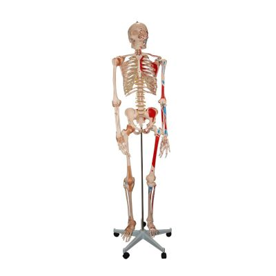 Life Size Skeleton Model with Painted Muscles & Ligaments
