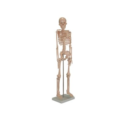 85cm Tall Skeleton Model on Stand