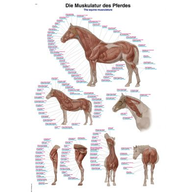 Equine Musculature Chart 50cm x 70cm