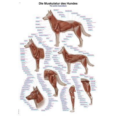 Canine Musculature Chart 50cm x 70cm