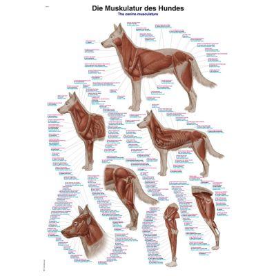 Canine Musculature Chart Large 70cm x 100cm
