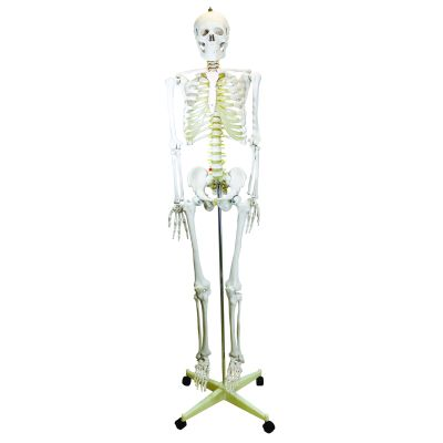 Life Size Skeleton Model on Mobile Stand