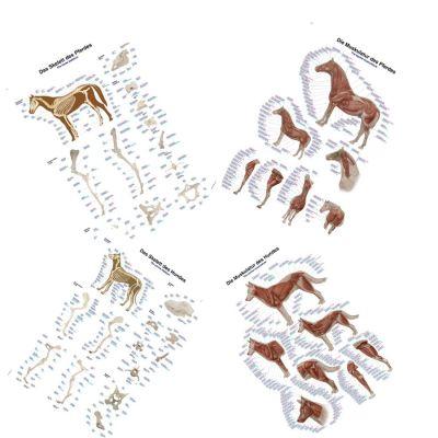 Set of Canine & Equine Charts 50 x 70cm